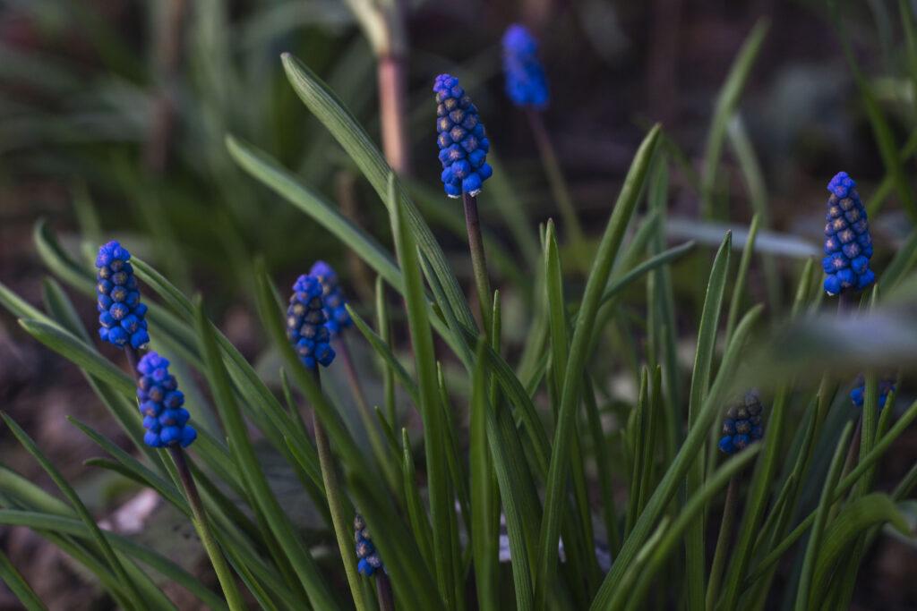 Få hyacinter i haven