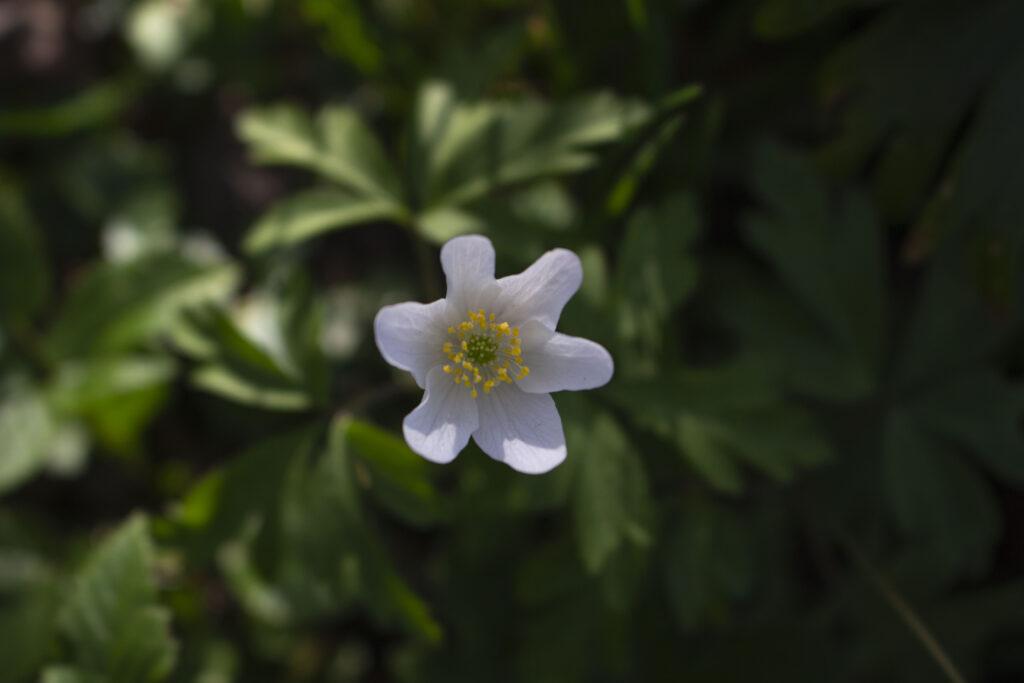 Find anemoner i skovbunden