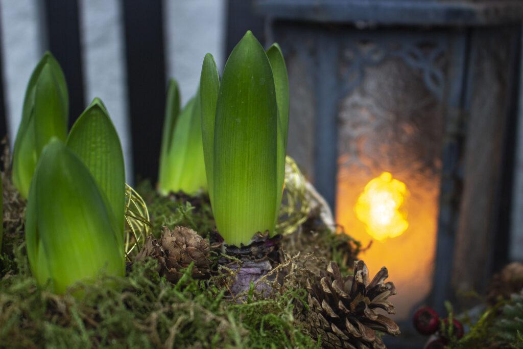 Plant krukker med juleroser & hyacinter