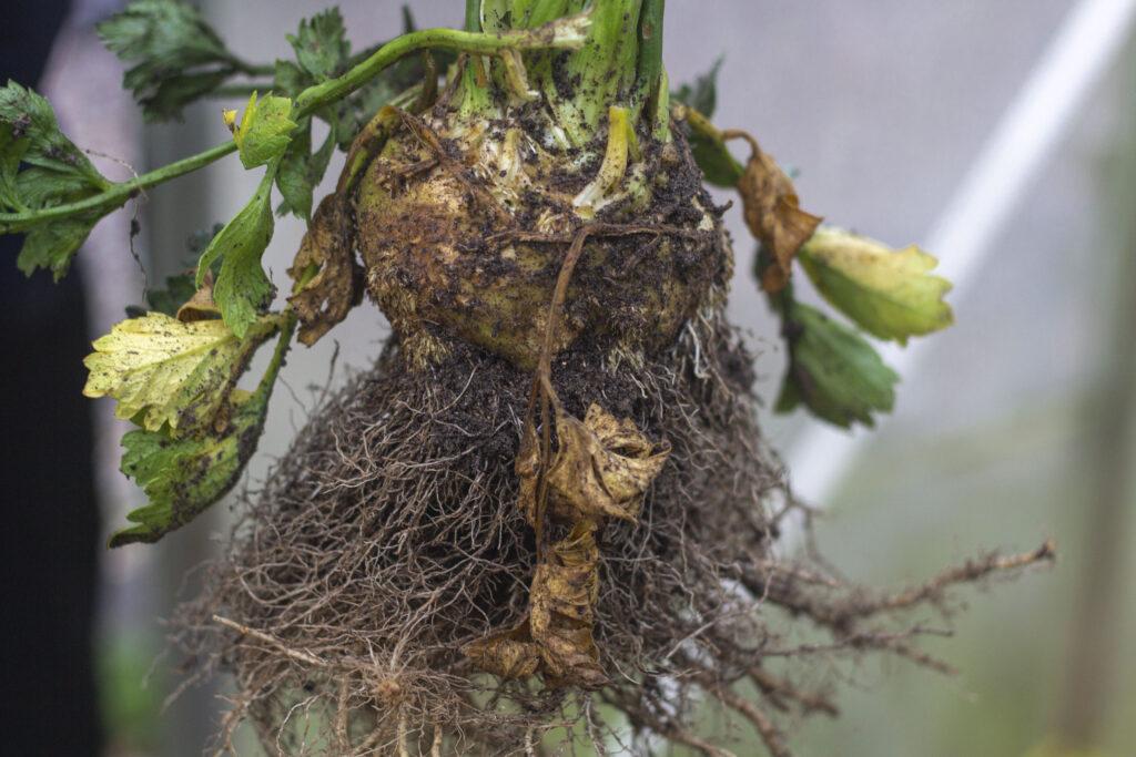 Høst & opbevaring af knoldselleri