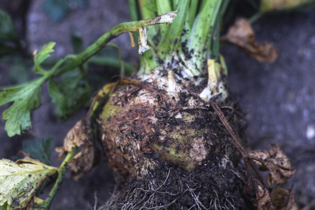 Sådan planter du knoldselleri