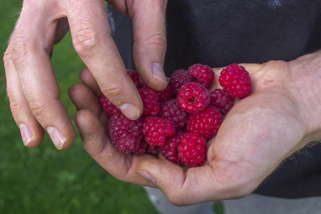 Dejlige hindbær i haven
