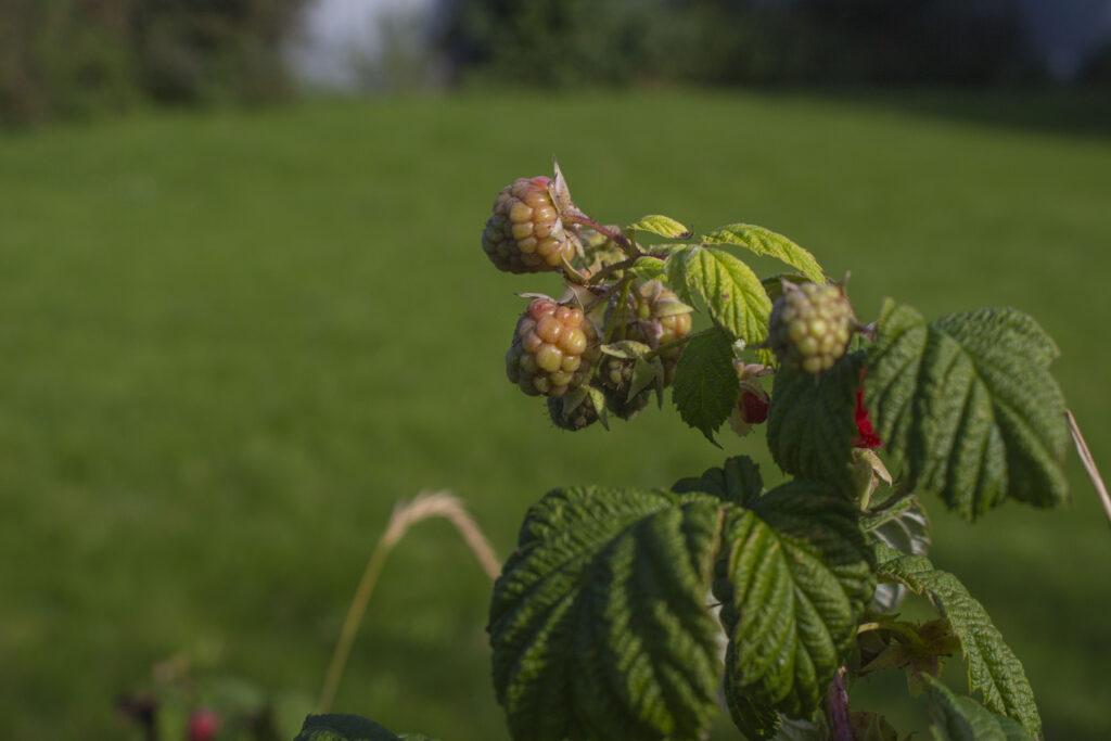 En note om bestøvning af hindbær