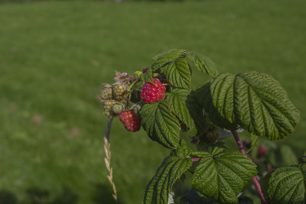 Populære sorter af hindbær