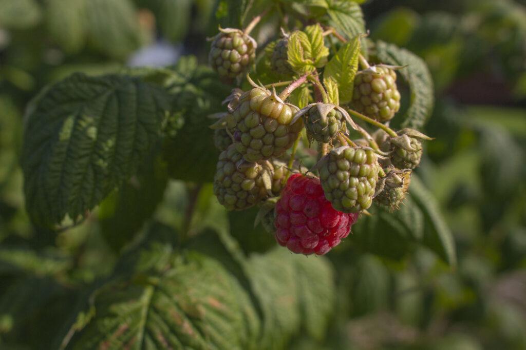 Sådan planter du hindbær