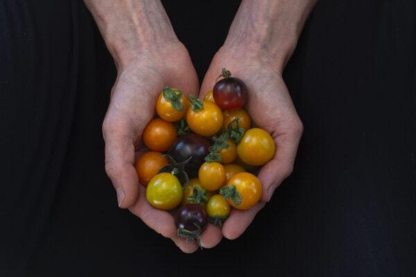 Dyrkning af tomater