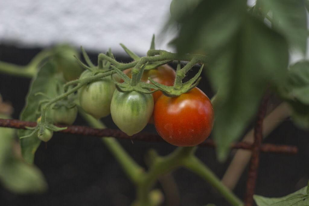 Få svar på alt om tomater
