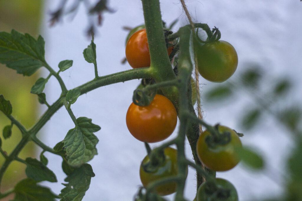 Husk opbinding af tomater