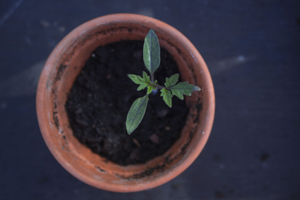 Kom godt fra start med dyrkning af tomater