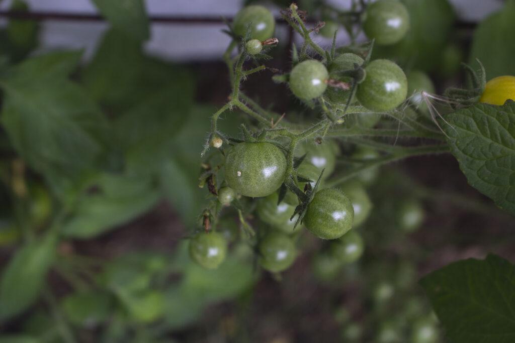 Plantning af tomater i drivhus
