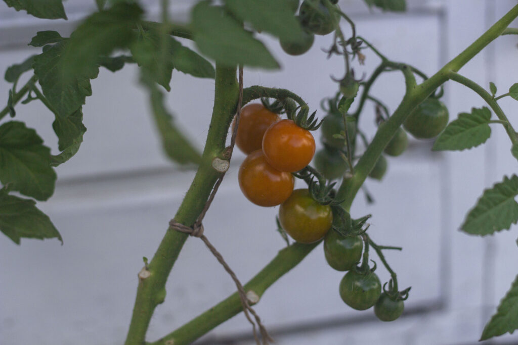 Værd at vide om pasning af tomater