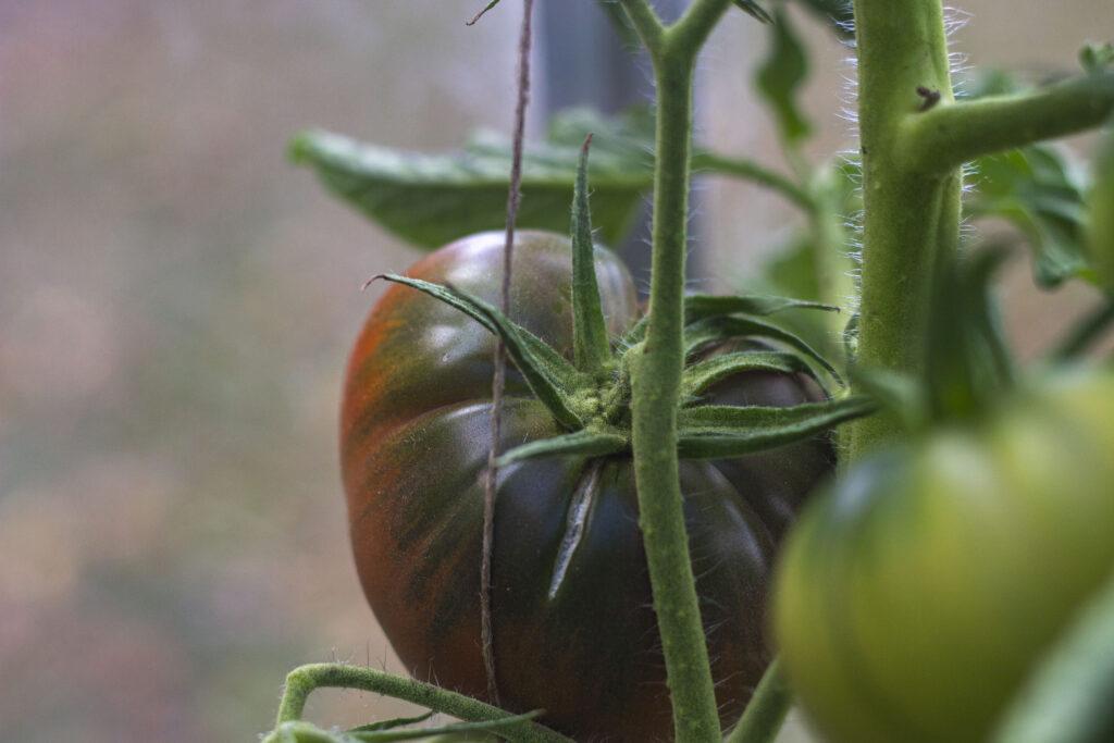 Vigtigt om vanding af tomater