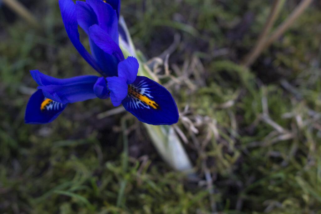 Den bedste placering til iris