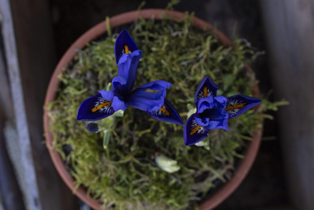 Den store irisfamilie