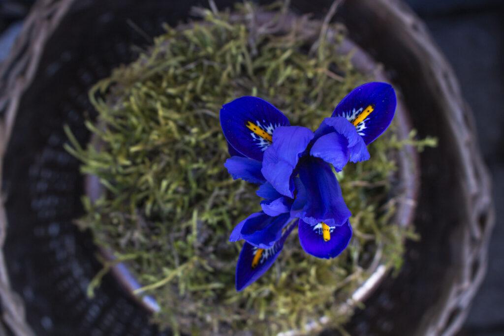 Et stort udvalg af irissorter