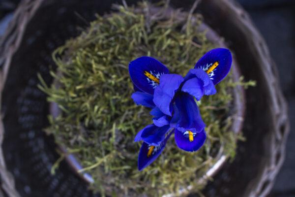 Pasning og plantning af iris i haven