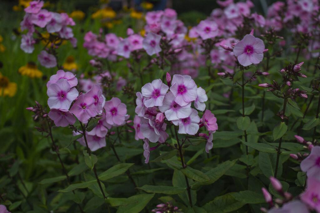 7 flotte planter til dit staudebed