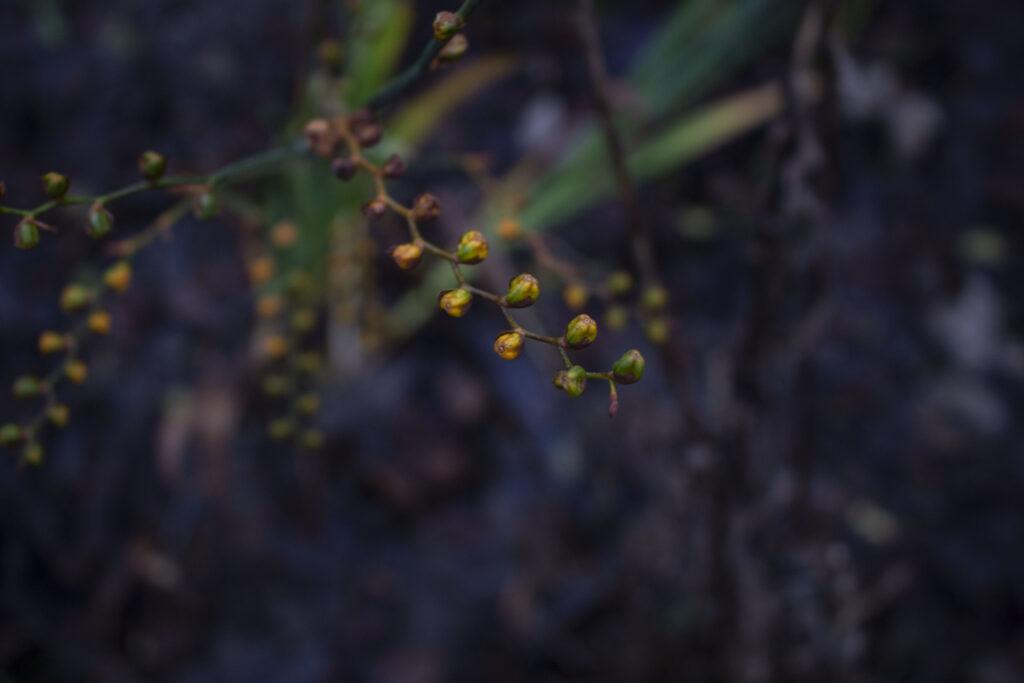 Du kan plante montbretia i krukke