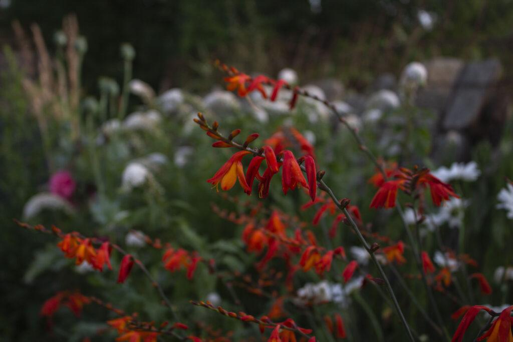 Få montbretia i haven