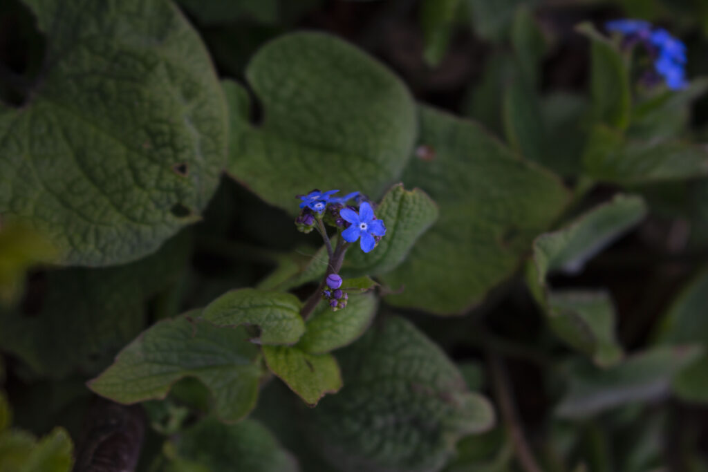 Flere sorter & arter af Brunnera macrophylla