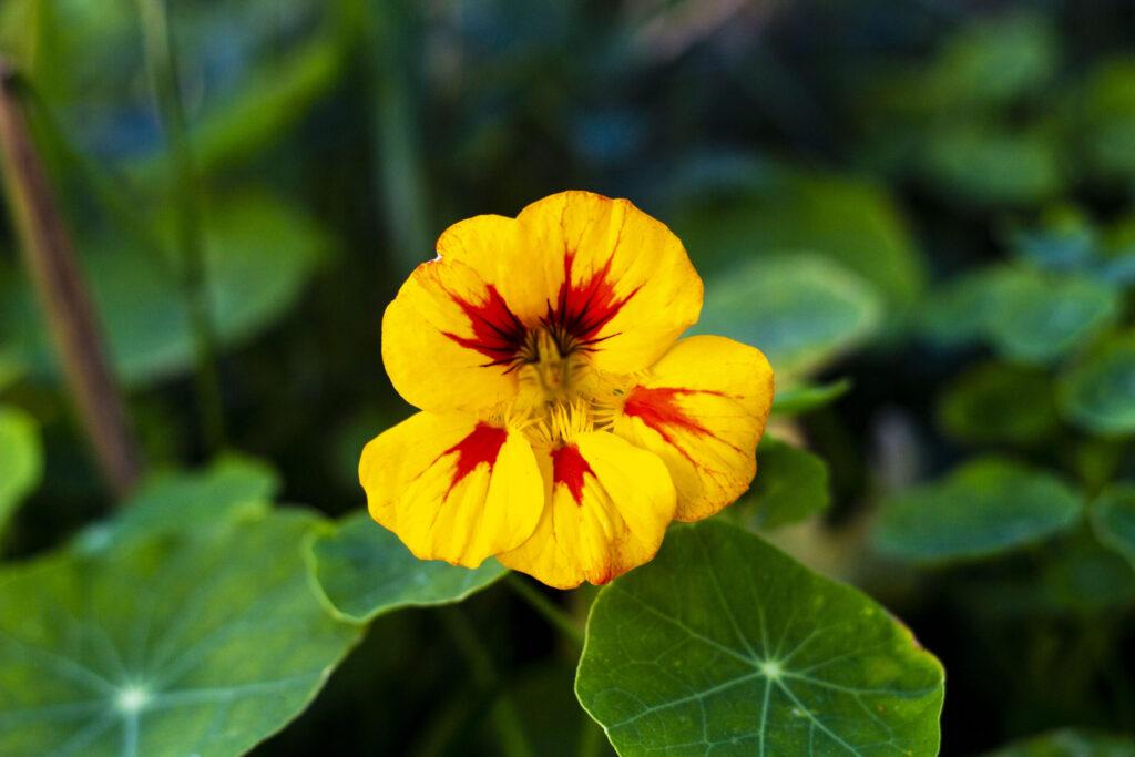 Blomsterkarse eller tallerkensmækker
