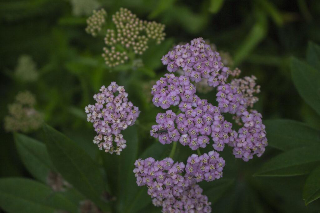 En insektvenlig plante