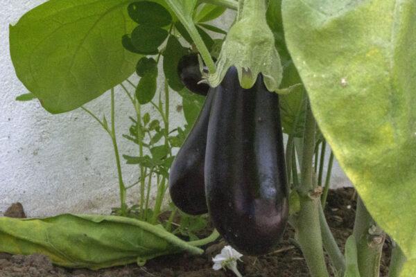 Sådan skal du høste auberginer